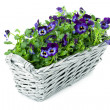 Sweet Pansies in Plait Basket — Stock Photo