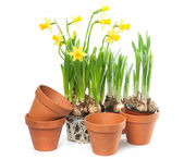 Spring Flowers - Daffodils and Plant Pots — Stock Photo