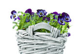 Sweet Pansies in Plait Basket -Shallow DOF — Stock Photo