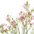 Sweet Waxflowers isolated on White - Stock Photo