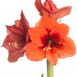 Red Amaryllis flower, multiple blossoms, isolated on white — Stockfoto #35650303