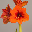 Red Amaryllis flower, multiple blossoms — Foto de Stock