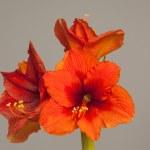 fleur amaryllis rouge, fleurs multiples — Photo #35653231