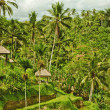 Rice terrace in Bali island. Green fields of agriculture in Ubud — ストック写真