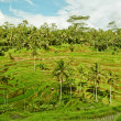 Rice terrace in Bali island. Green fields of agriculture in Ubud — Stok fotoğraf #22491815