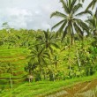 Rice terrace in Bali island. Green fields of agriculture in Ubud — Stok fotoğraf