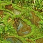 rijst terras in bali eiland. groene velden van de landbouw in ubud — Stockfoto #22500035