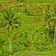 Rice terrace in Bali island. Green fields of agriculture in Ubud - Stock Photo