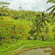 Rice terrace in Bali island. Green fields of agriculture in Ubud — Stock Photo #22500053