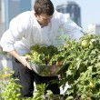 Chef harvests herbs from urban restaurant rooftop — Stock Photo