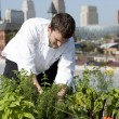 Chef harvests herbs from urban restaurant rooftop - Stock Photo
