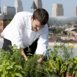 Chef harvests herbs from urban restaurant rooftop - Zdjęcie stockowe