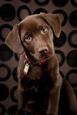 Adorable chocolate lab puppy — Stock Photo