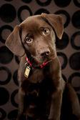 Adorable chocolate lab puppy — Stock Photo