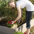 Gardening. Caucasian  teenage girl picking vegetables — Stock Photo