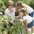 Gardening. Caucasian mother and daughters picking vegetables — Stock Photo #21374563
