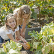 Gardening. Caucasian sisters picking pumpkins together in a garden or pumpkin patch — Stock Photo #21374585