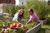 Jardinería. madre caucásica y su hija adolescente recogiendo verduras — Foto de Stock