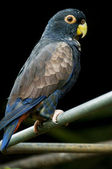 Parrot black background — Stock Photo
