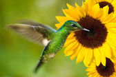 Hummingbird feeding from sunflower — Stock Photo