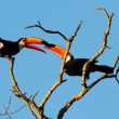 Royalty-Free Stock Photo: Couple of Toco Toucan fighting each other perched on a branch