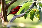 Brazilian Tanager perched on a Cecropia tree — Stock Photo