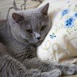 My favorite cat Tom — Foto de Stock