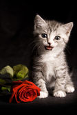 Little cat with red rose — Stock Photo