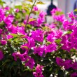 Beautiful bougainvillea flowers backlit by afternoon sun — Stock Photo #34833295