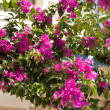Beautiful bougainvillea flowers backlit by afternoon sun — Stock Photo #47317851