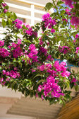 Beautiful bougainvillea flowers backlit by afternoon sun — Stock Photo