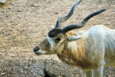 Addax nasomaculatus antelope — Stock Photo