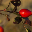 Rose hip — Stock Photo
