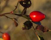 Rose hip — Stock Photo