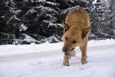 Sníh a pes — Stock fotografie