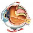 Anatomy of the Eye — Stock Photo