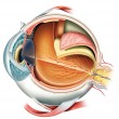 Anatomy of the Eye — Stock Photo #18843185