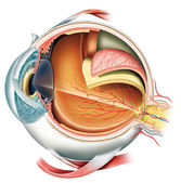 Anatomy of the Eye — Foto Stock
