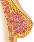 Anatomy of female breast — Stock Photo