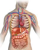 人的身体 — 图库照片