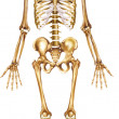 Skeleton front view — Stock Photo