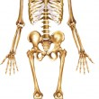 Skeleton front view - Stock Photo