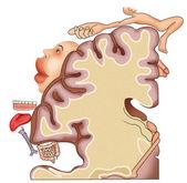 Senzorial cerebral cortex — Stock Photo