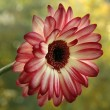 Gerbera — Stock Photo #19005259