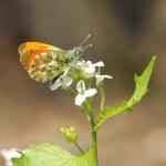 Mennlicher Aurorafalter. Male orange-tip butterfly — Stock Photo #19117939