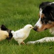 Australian Shepherd Watching Over Baby Chicks — Foto Stock