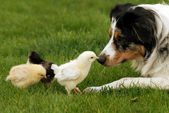 Australian Shepherd Watching Over Baby Chicks — Stock Photo