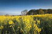 Oilseed Rape, Canola, Biodiesel Crop — Stock Photo