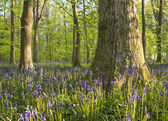 Magical forest and wild bluebell flowers — Stock fotografie