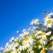 Crazy daisy's — Stock Photo #24455453